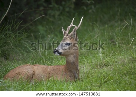 Roe deer hiding - stock photo