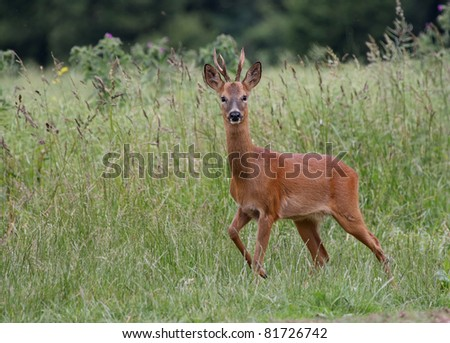 Roe Deer in a field - stock photo