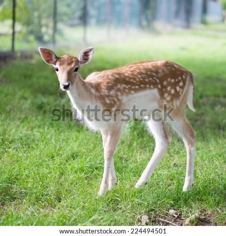 Roe deer in an enclosure / Roe deer - stock photo