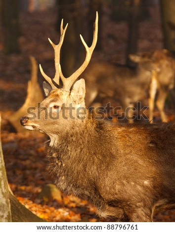 roe deer in autumn nature - stock photo