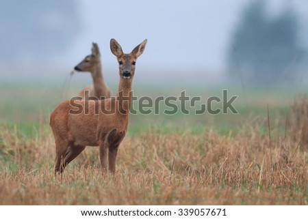 Roe-deer in the wild in the morning mist