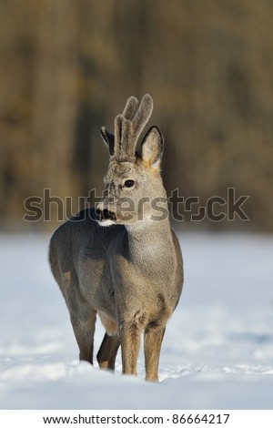 Roe deer in the winter - stock photo