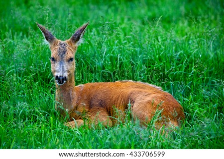 Roe Deer laying in the green grass - stock photo