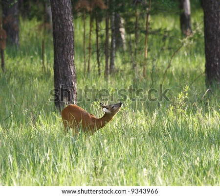 Roe deer over the forest background - stock photo
