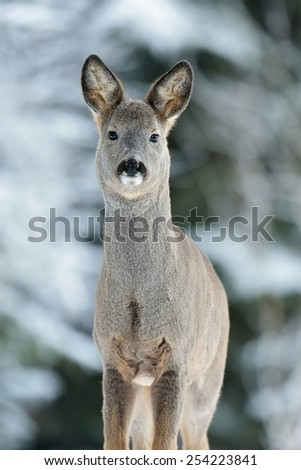 Roe deer portrait in winter - stock photo