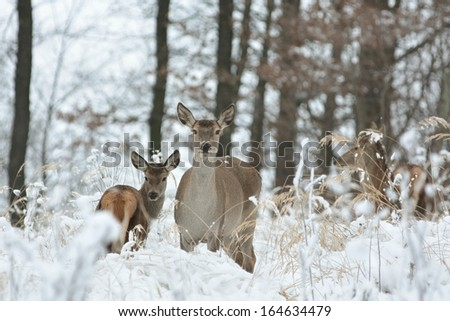 Roe deer standing in a snowdrift on the edge of the forest. - stock photo