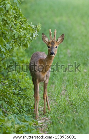 Roe deer standing on a field vertical orientation - stock photo