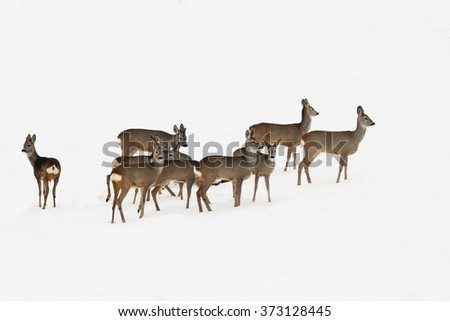 roe deers standing on snow in a winter day ( Capreolus capreolus ) - stock photo