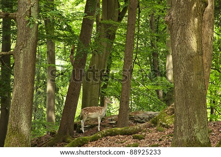 Roe Doe Deer in the forest - stock photo
