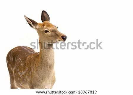 Roe isolated on white - stock photo