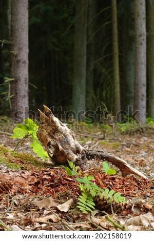 roe skull 2 - stock photo