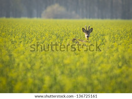 Roebuck in the rape flower - Capreolus capreolus - stock photo