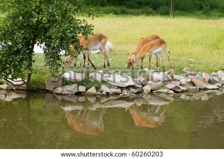 roes are drinking water - outdoor - stock photo