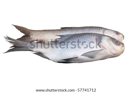 Rohu fish isolated on white