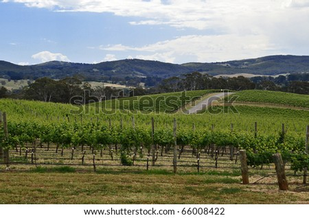 Rolling hills of grape vines in the Adelaide Hills, South Australia. - stock photo