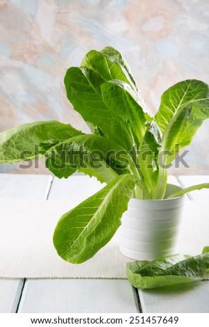 Romain Lettuce in a white pot. Lactuca sativa romana - stock photo