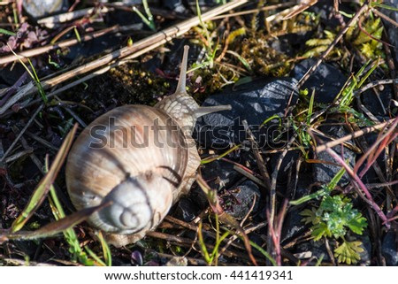 Roman snail, Burgundy Snail lat Helix pomatia is a edible snail. - stock photo