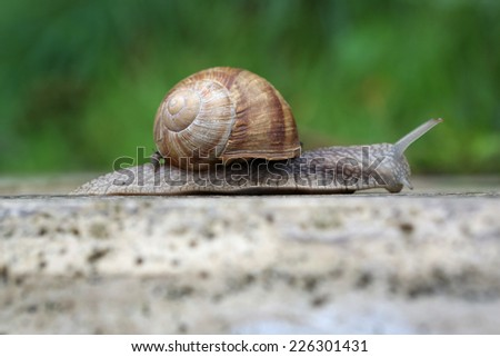 Roman Snail (Helix pomatia) , Close up of a Roman Snail (Helix pomatia)