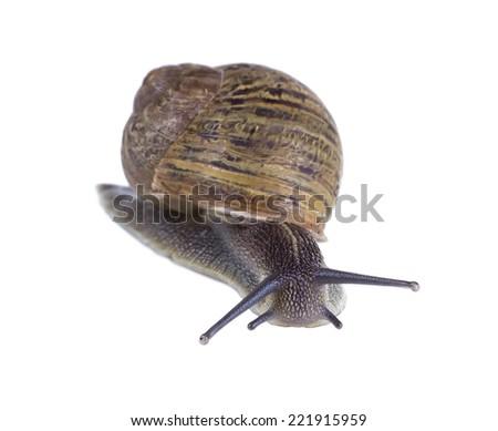Roman snail isolated on white background - stock photo