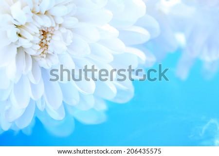 Romance concept. White chrysanthemum flower on blue background - stock photo
