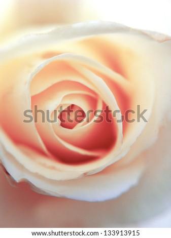 Romance pink rose close up - stock photo