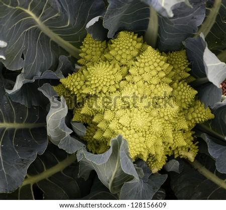 Romanesco cabbage - stock photo