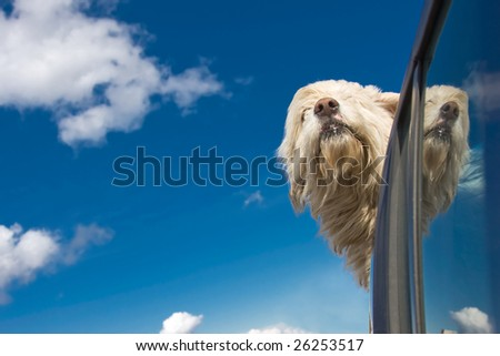 Romanian shepherd dog enjoying a ride with the car. - stock photo