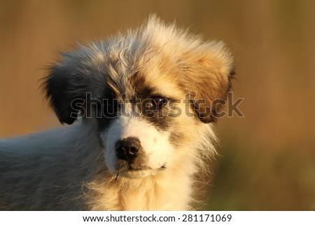 romanian shepherd dog puppy portrait at dawn on out of focus background, warm light - stock photo