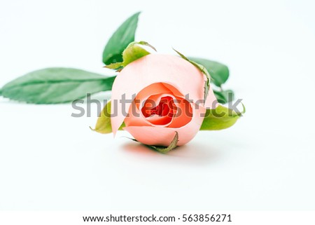 Romantic beautiful pink roses/White Background