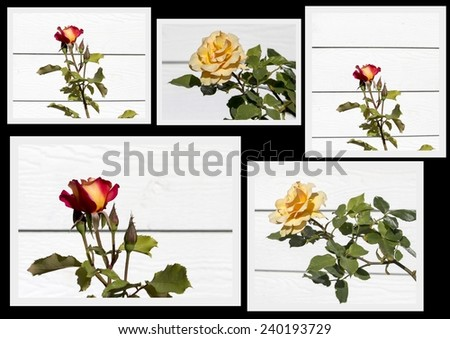 Romantic beautiful  scented  yellow and red  hybrid tea roses displayed in a lovely collage on a black background are delightful. - stock photo