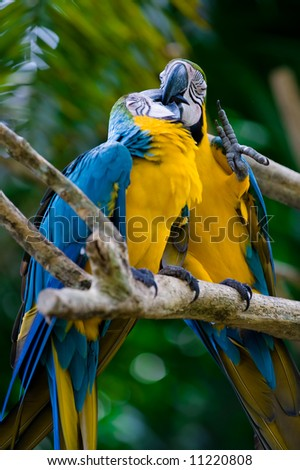 romantic blue and yellow macaws - stock photo