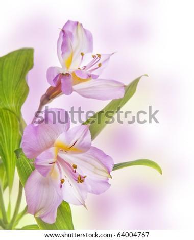 romantic flower Alstroemeria lily - stock photo