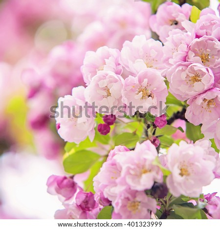 Romantic fluffy cherry tree blossoms in Spring