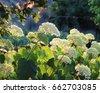 romantic hydrangea arborescens...
