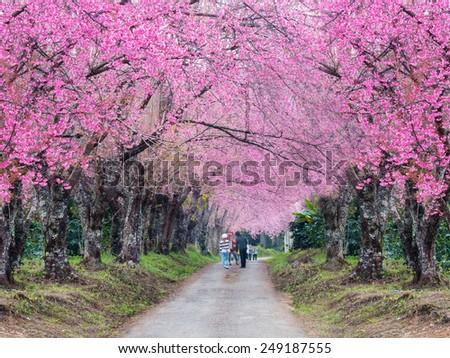 romantic road of cherry blossom (Sakura) flower trees - stock photo