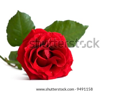 Romantic Rose - stock photo