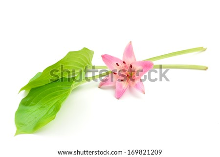 Romantic spring background. Beautiful single pink lily flower. Spa flower banner isolated on white. - stock photo