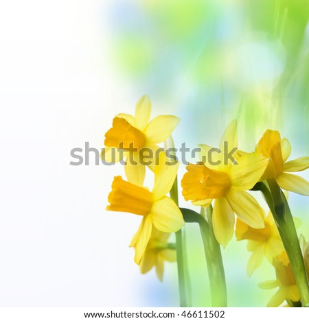 romantic spring daffodils - stock photo