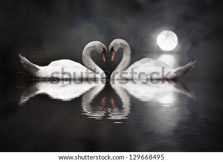 romantic swan during valentine's day - stock photo