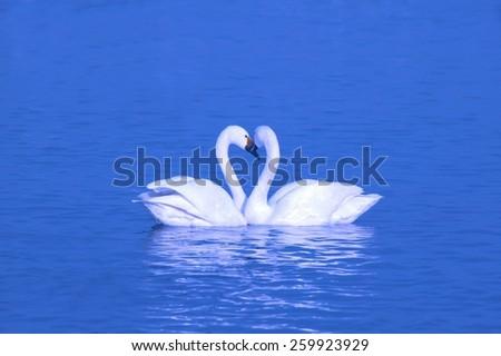 romantic two swans - stock photo