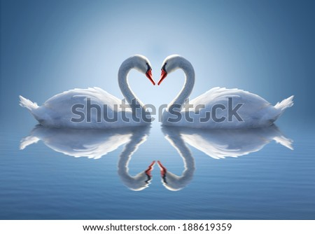 Romantic two swans. Water reflection ob blue background.  - stock photo