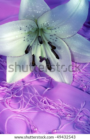 romantic white lily with drops of water over pink background