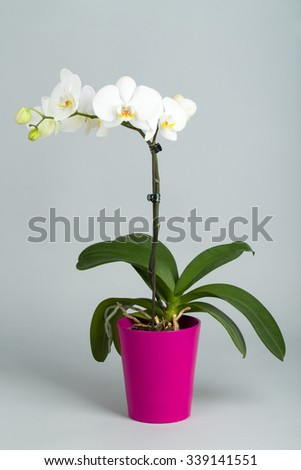 romantic white orchid in pot on grey background, studio shoot - stock photo