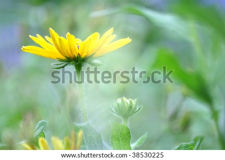 Romantic Yellow Rudbeckia Flower Horizontal - stock photo