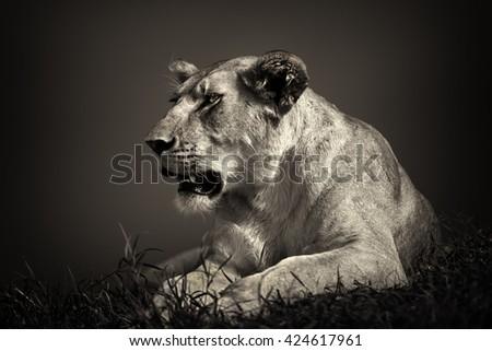 Rongai Pride Lioness in Masai Mara, Kenya - stock photo