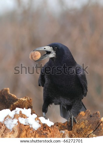Rook (Corvus Frugilegus) on a snowy log  with a nut in the beak - stock photo