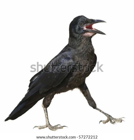 Rook isolated on white background Corvus frugilegus - stock photo
