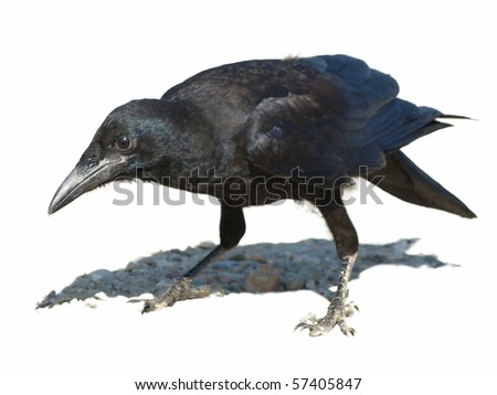 Rook with shadow isolated on white background Corvus frugilegus (exclusive)