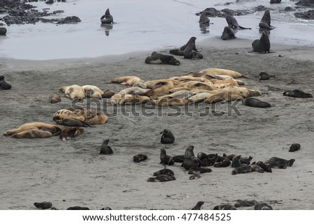 rookery of Steller sea lions and northern fur seals on the beach Bering Island
