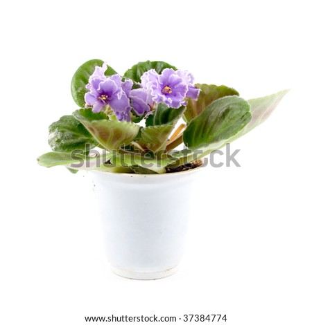 Room flower a violet on a white background